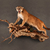 Cougar Taxidermy