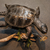 Turtle Taxidermy