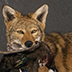 Coyote Taxidermy