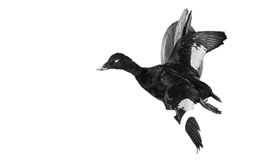 Waterfowl Taxidermy